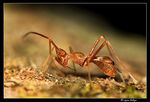 Title: Ant mimic bug - Coreid Bug
