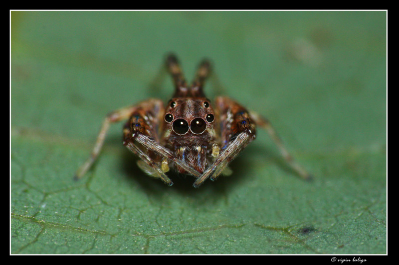 ooooh its so cold today - Jumping Spider
