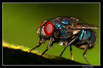 Title: Green Bottle fly..?