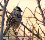 Title: White Crowned Sparrow