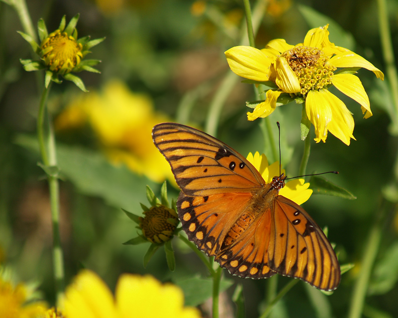 Gulf Fritillary or Passion Butterfly (Ag