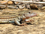 Title: Texas Spotted Whiptail