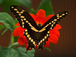 Title: Papilio CresphontesOLYMPUS E-500