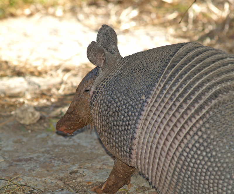 I wanna go home with the Armadillo...