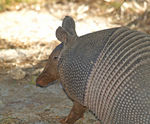 Title: I wanna go home with the Armadillo...