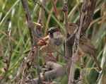 Title: House Sparrow - Male and Female
