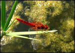 Title: Red Dragonfly For 'boreocypriensis'