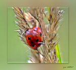 Title: Ladybird taken with inverted lens