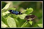 Title: A couple of Butterfly