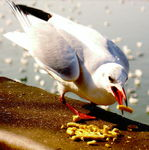 Title: Brown headed gull