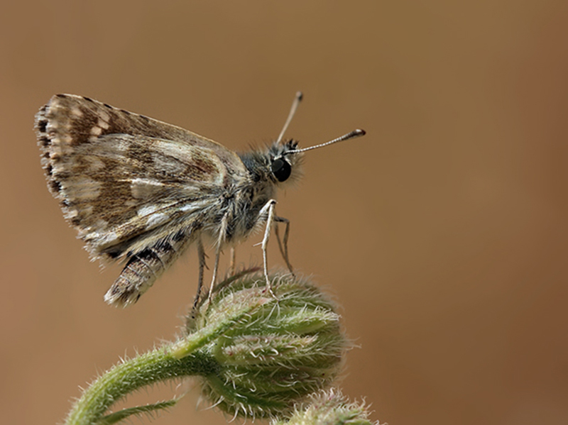 Red Underwing Skipper