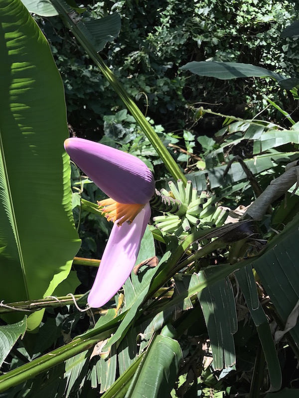 Flower & Baby Banana | Manoa Falls, Oahu