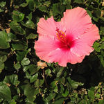 Title: Hibiscus | Manhattan BeachApple iPhone 5c