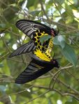 Title: Common Birdwing in love