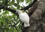Title: Yellow-crested cockatoo