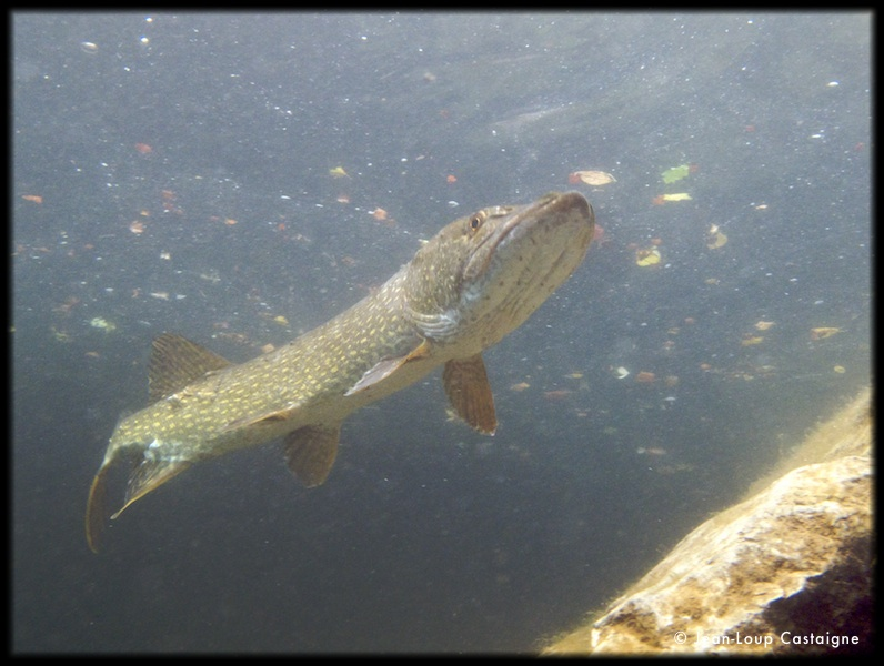 Old Pike - Vieux Brochet