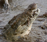 Title: Nile Crocodile (the migration)Canon 1D Mark II