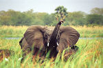 Title: Female elephant on guard