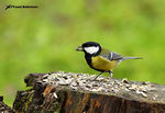 Title: Cinciallegra (Parus major)