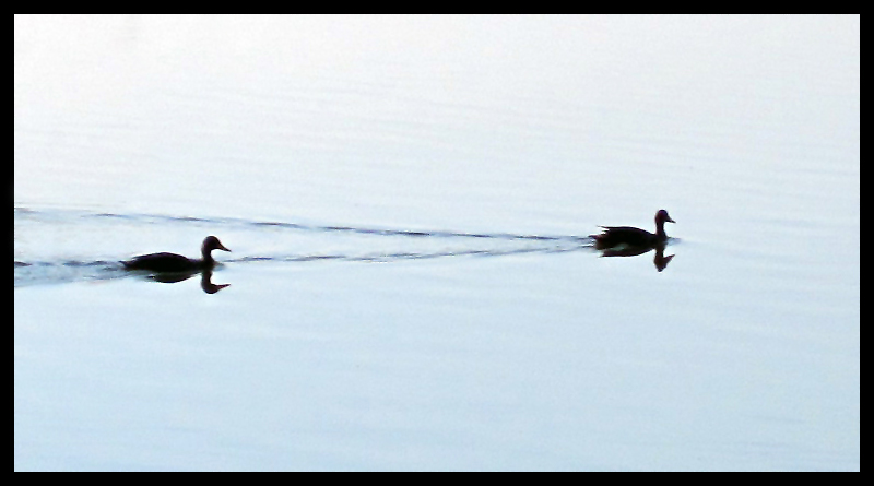 Ducks & Shadow