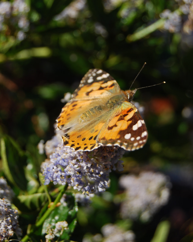Perching Painted Lady