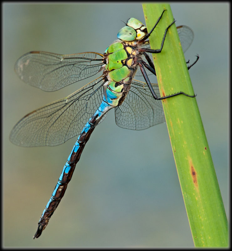 anax_imperator_male