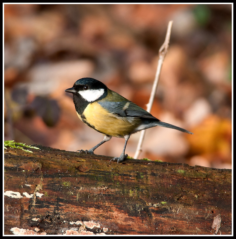 Parus major  Cinciallegra