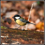 Title: Parus major  Cinciallegra
