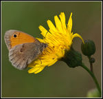 Title: Coenonympha pamphilus male
