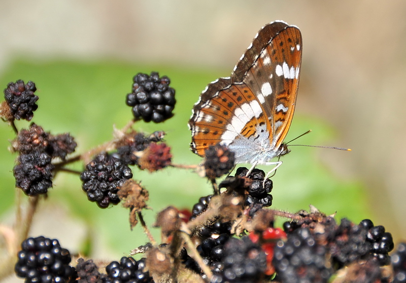 Butterfly, and blackberries