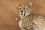 Title: Young Cheetah