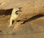 Title: Monitor Lizards