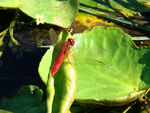 Title: My First Dragonfly
