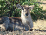 Title: Young Waterbuck