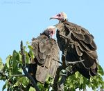Title: Hooded Vultures