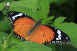 Title: Eggfly