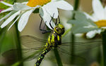 Title: Southern Hawker