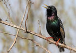 Title: Singing Starling