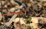 Title: Red Veined Darter II