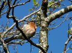 Title: Singing Chaffinch