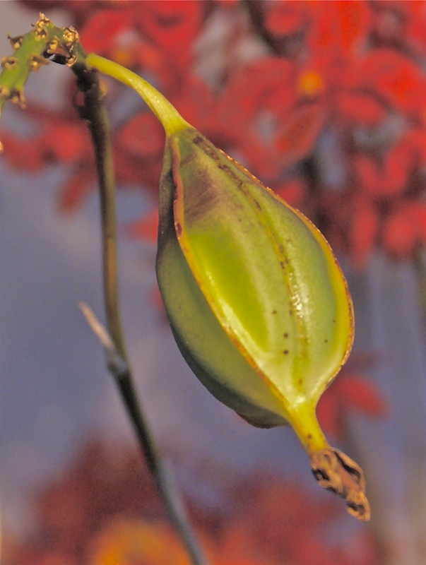 Orchid Seed Pod