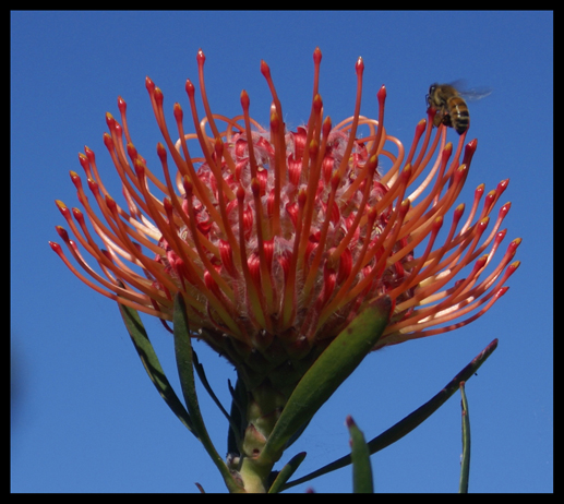 Protea and Bee
