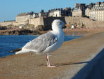 Title: A seagull in Saint Malo