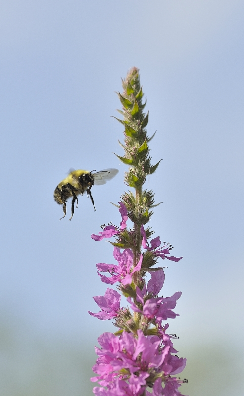 Fly of the Bumble Bee