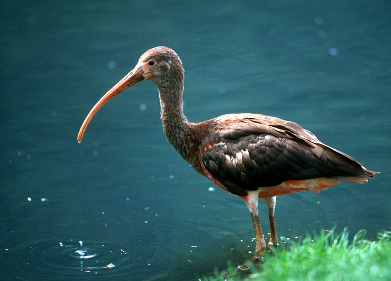 Young red ibis