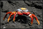 Title: Red crab