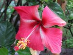 Title: pink hibiscus