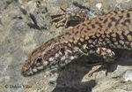 Title: Lizard (Podarcis muralis)Canon Powershot SX210IS