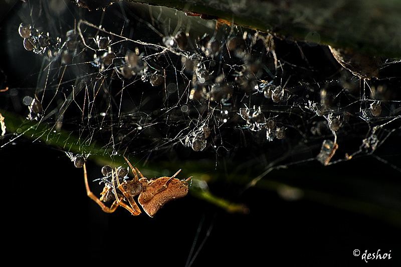 Brown Uloborid spider and young spiders