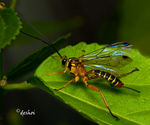 Title: Yellow-banded Ichneumon Wasp